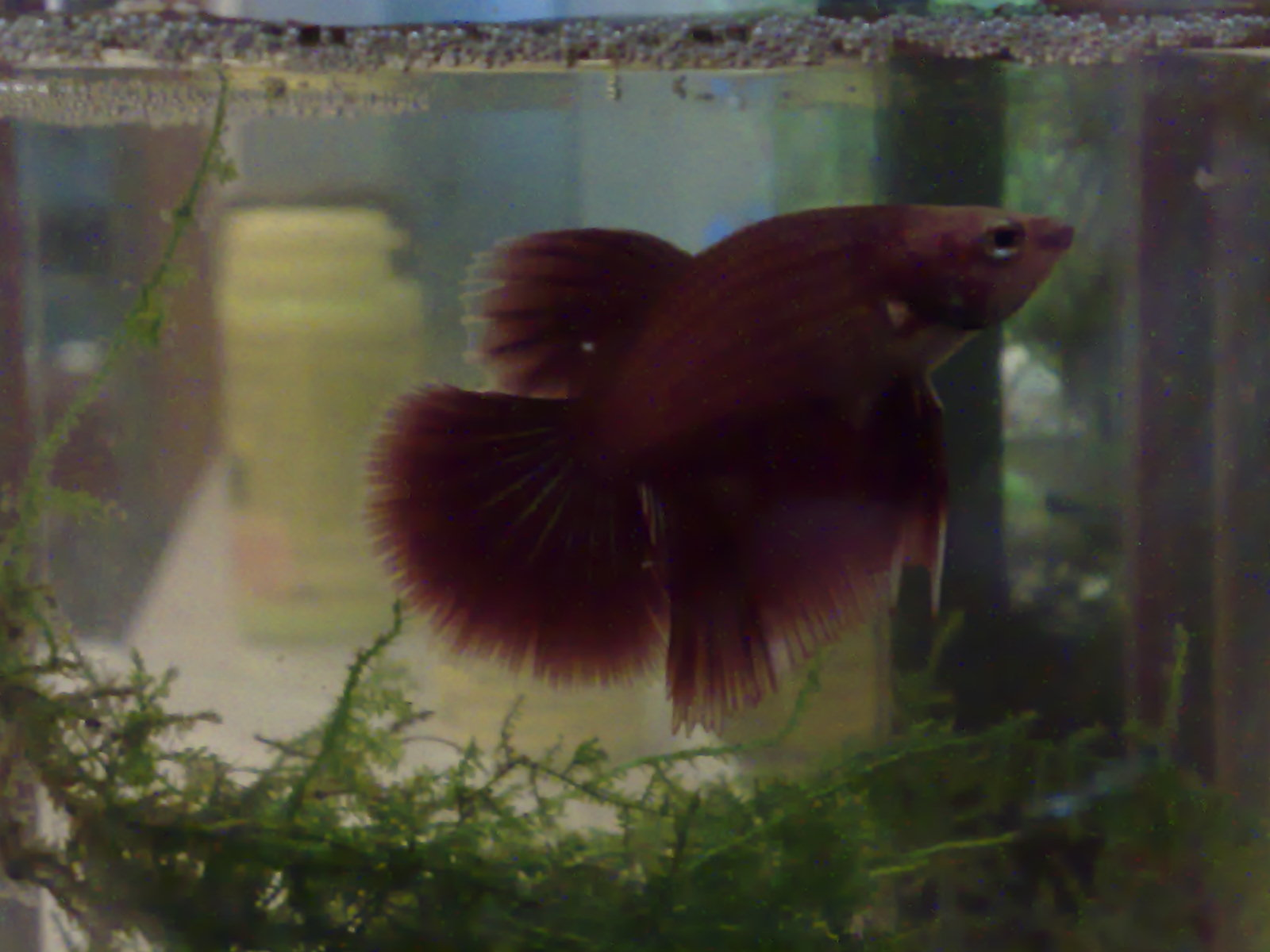 Baby betta picture