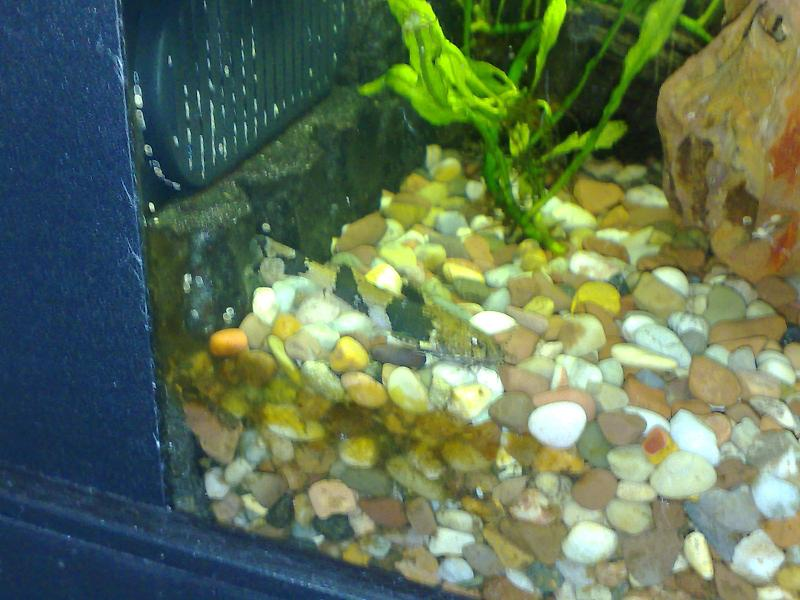 Dwarf Marbled Catfish
