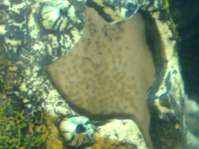 Convict Cichlid Eggs